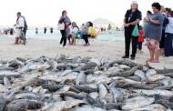 Temporada da pesca da tainha inicia com altos e baixos no norte da Ilha