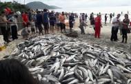 Pescadores de Ingleses capturam mais de 5 mil tainhas na manhã deste sábado
