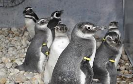 Pinguins recebem tratamento no Parque do Rio Vermelho antes de serem devolvidos à natureza