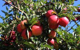 Produtores de maçã comemoram a chegada do frio em Santa Catarina