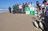 Pinguins são devolvidos ao mar na Praia do Moçambique